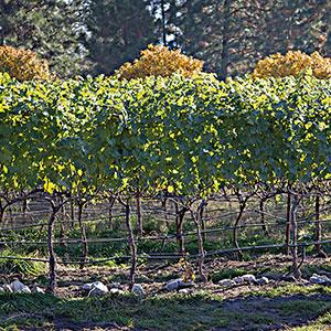 Coolshanagh-Vineyard-2-thumb